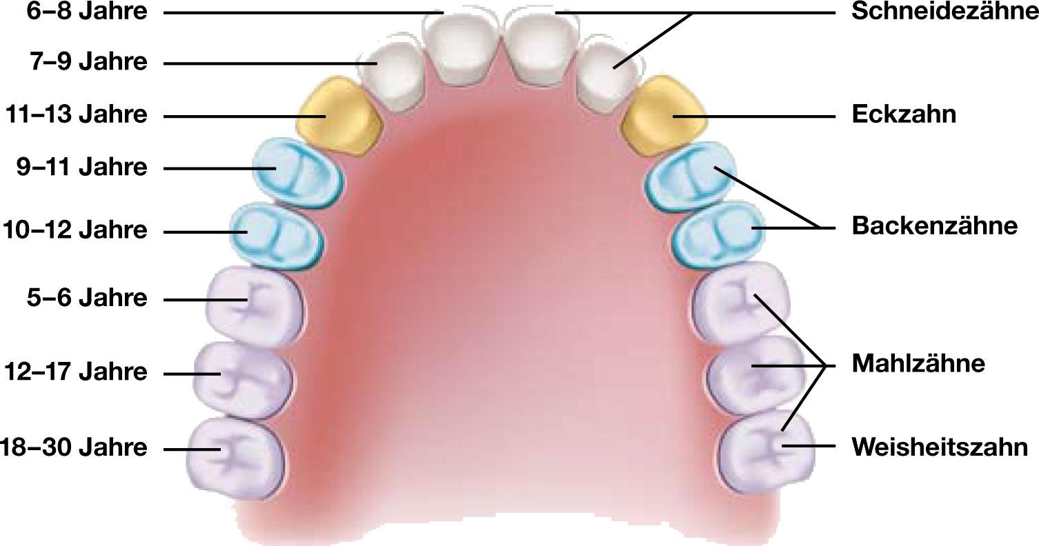 Das Gebiss - Kieferorthopädie | Zahnarztportal